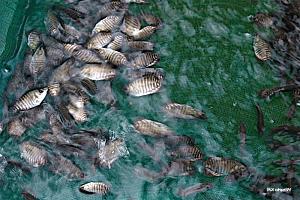 budidaya-ikan-gurame-air-tawar-300x200