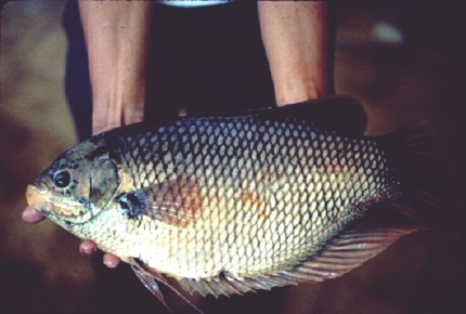 ikan-gurame-soang