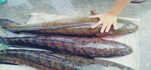 Peluang-Usaha-Budidaya-Ikan-Gabus