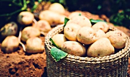 panduan-cara-budidaya-tanaman-kentang-organik-natural-nusantara-distributor-resmi-pupuk-organik-nasa-pocnasa-hormonik-supernasa-pentana-pestona-power-nutrition-bvr-glio-metilat-plus-npk-urea-greenstar