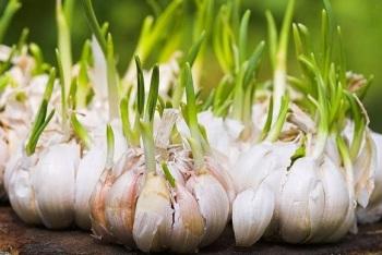 tunas-bawang-putih