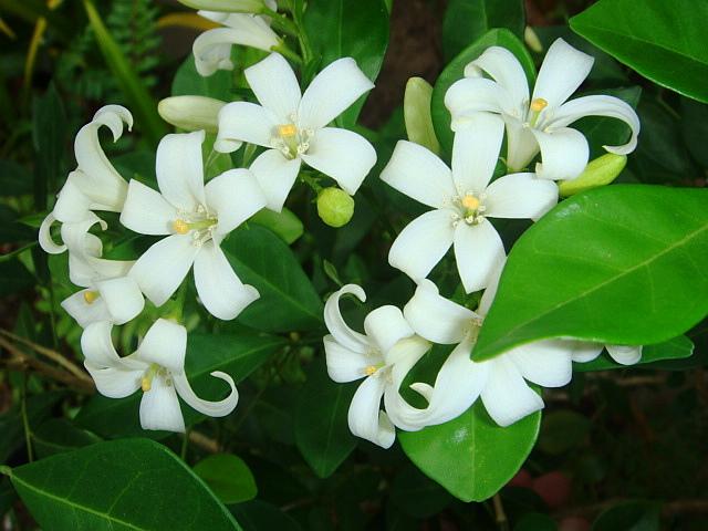 Kemuning, Bunga Mirip Melati Namun BukanMelati
