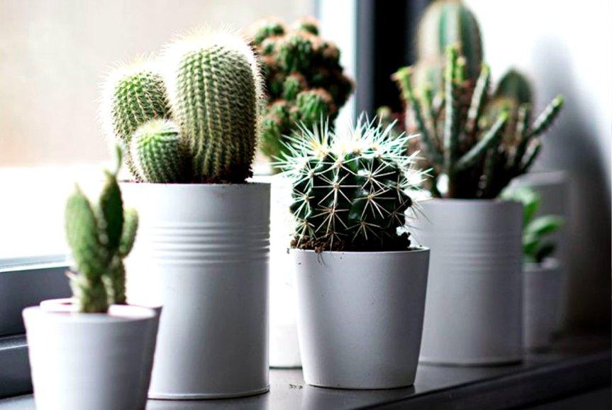 Tips Merawat Kaktus Hias DenganMudah