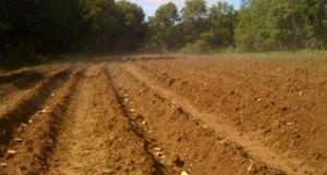 penanaman kentang