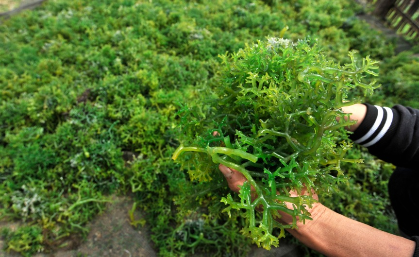 Budidaya Rumput Laut BagiPemula
