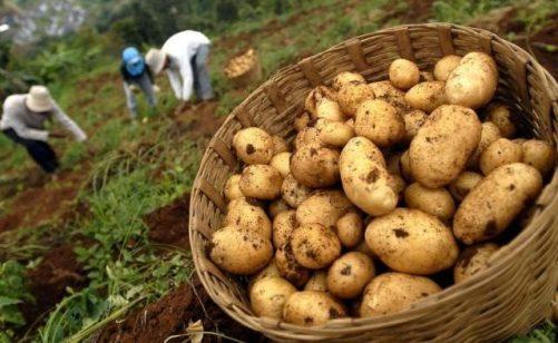 gambar-klasifikasi-dan-manfaat-tanaman-kentang-e1508134018380