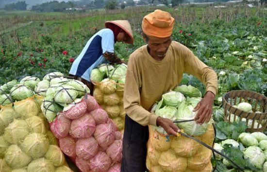 Dua petani mengemas sayuran kubis hasil panennya di salah satu lahan pertanian di Sumowono, Kabupaten Semarang, Jawa Tengah, Selasa (17/4).